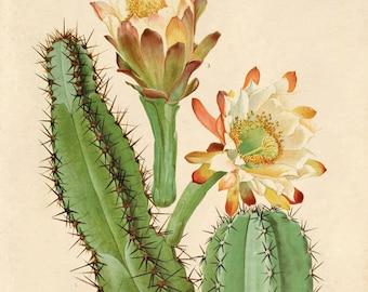 Vintage Cactus Blossom Print. Palm Springs Vintage Botanical Succulent palm springs home decor scientific illustration - C005P