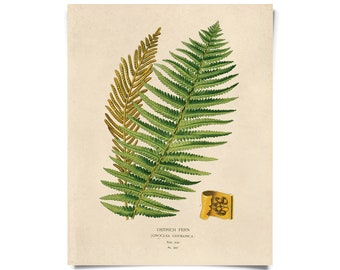 Vintage Botanical Fern Print w/ optional frame