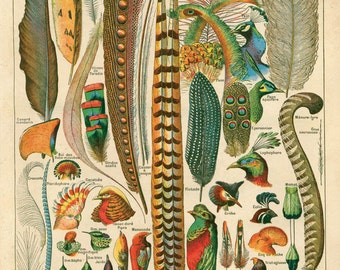 Feather Print Antique Plumes Bird Art Reproduction Poster - French Le Petit Larousse by Millot. Biology Educational Chart Science - A010P