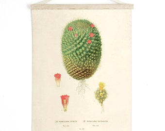 Botanical Cactus Pull Down Chart - Vintage Reproduction Print. Canvas Diagram Educational Wall Hanging Succulent Flowers - C013CV