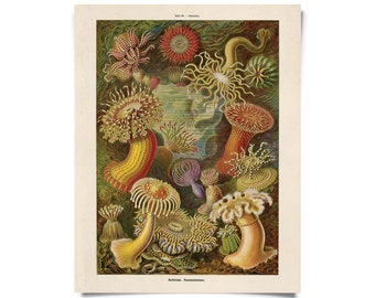 Vintage Sea Anemone Print by Ernst Haeckel Educational  Diagram Chart
