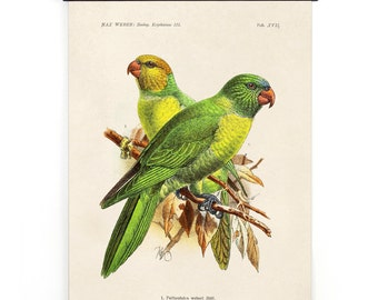 Pull Down Chart - Parakeet Vintage Bird Illustration Poster Vintage Reproduction - Max Weber Birds Zoology Austin Biology Green - A023CV