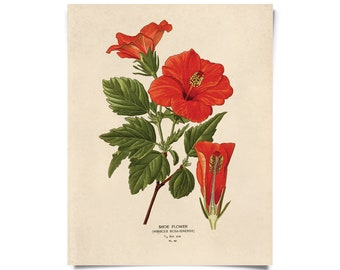 Vintage Tropical Hibiscus Flower Print. Educational Science Plate Chart Diagram