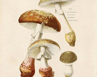 Vintage Mushroom Print. Amanita rubescens (blusher mushroom). Fungi Educational Chart Diagram