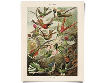 Vintage Hummingbirds Print by Ernst Haeckel Educational Diagram Chart Wildlife birds
