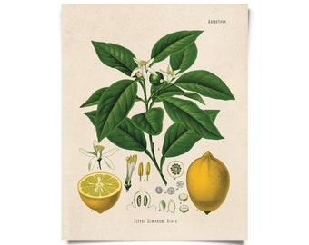 Vintage Lemon Chart Citrus Print. botanical vintage Educational Chart Diagram Chart from Kohler's Citrus Tree Botanical Poster - B011P
