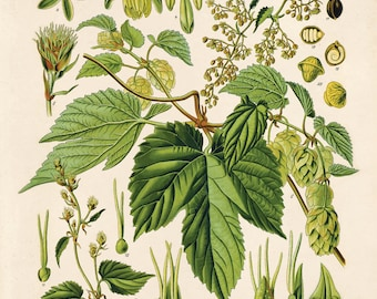 Botanical Hop Humulus lupulus Print. Vintage Reproduction Educational Chart Diagram Poster from Kohler's Citrus Beer Making Poster- CP260