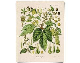 Vintage Botanical Beer Hop Flower Print w/ optional frame
