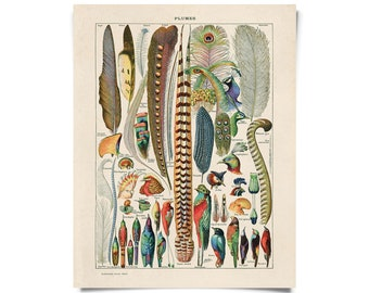 Vintage Feather Plumes Print - French Le Petit Larousse by Millot. Biology Educational Chart