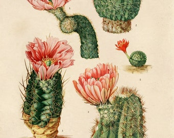 Vintage Pink Cactus Blossom Botanical Print Plate IV. Educational Chart Diagram Desert Poster Palm Springs - C003P