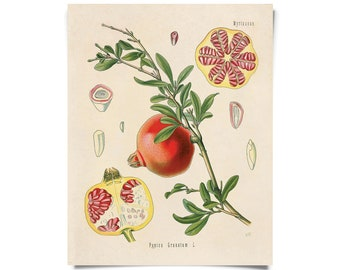 Vintage Pomegranate Fruit Print. Botanical Educational Chart Diagram from Kohler's Medicinal Botanical Guide - B004P