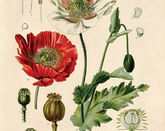 Vintage Opium Poppy Print from Kohler's. Papaver somniferum Educational Chart Diagram Poster from Kohler's Botanical. Flower Garden - B013P