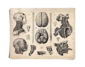Vintage Anatomy Nervous System Print. Brains poster Human Body Biology Educational Chart diagram -AT013P