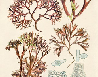 Vintage Irish Moss Print. Botanical Chondrus crispus Red Algae Diagram from Kohler's Medicinal Botanical Guide - B007P