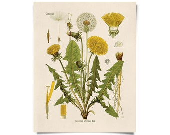 Vintage Dandelion Print. Botanical Taraxacum officinale. Educational Chart Diagram from Kohler's - B010P