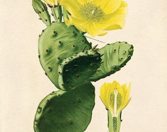 Vintage Prickly Pear Cactus Print. Botanical Opintia Vulagaris Educational Chart Diagram Desert Poster - C011P