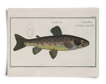 Vintage Fish Brown Trout Print Chart. salmo fario Aquatic Life Anthias Biology Educational Diagram Chart Poster Marcus Elieser Bloch - A022P