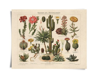 Vintage German Cactus Kakteen 1 Print. Botanical Desert Educational Diagram