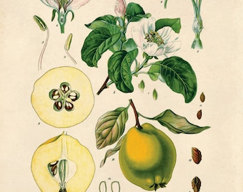 Vintage Quince Print. Botanical Cydonia vulgaris Pers. Fruit Pear Educational Diagram Poster from Kohler's Citrus Tree Botanical - B003P