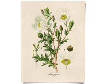 Vintage Mexican Poppy Print. Wildflower Texas Botanical Flower Educational Chart Seed Packet Diagram - B017P