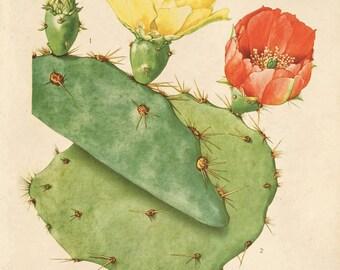 Vintage Cactus Flower Print Plate 31. Prickly Pear Educational Vintage Chart Diagram Cactus Desert Poster Pull Down Chart flowers - C007P