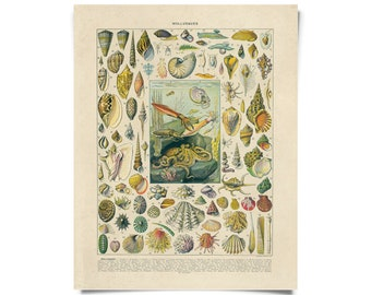 Vintage Nature French Sea Shell Mollusks Print w/ optional frame