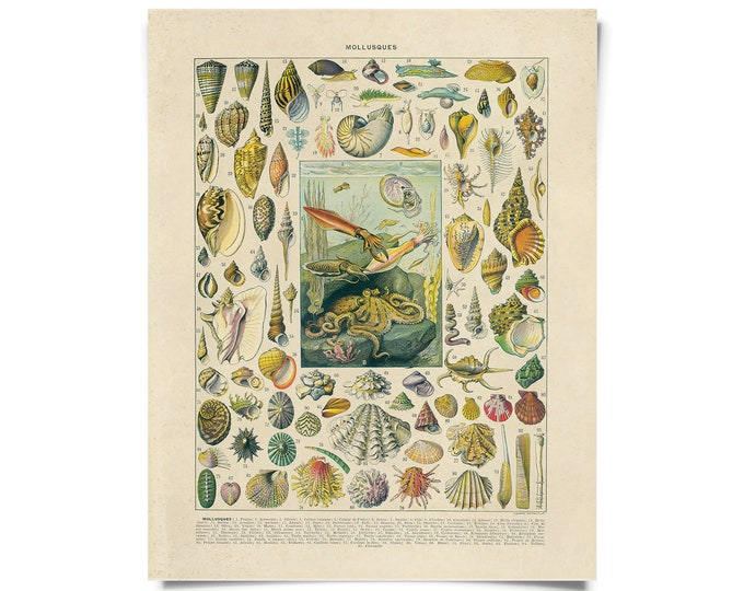 Featured listing image: Vintage Nature French Sea Shell Mollusks Print w/ optional frame