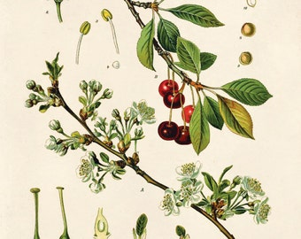 Vintage Sour Cherry Print. Botanical Prunus Gerasus Educational Chart Diagram from Kohler's Medicinal Botanical Guide - B004P
