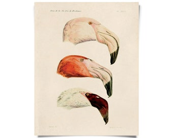 Vintage French Flamingo Print - Illustrated by Alphonse Tremeau de Rochebrune - Educational Chart Poster Birds - A023P