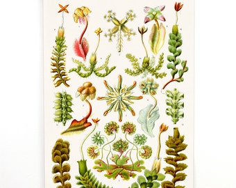 Pull Down Chart - Vintage Botanical Hepaticae Liverworts Reproduction Print. Haeckel Vintage Science Plate. Educational Diagram - B018CV