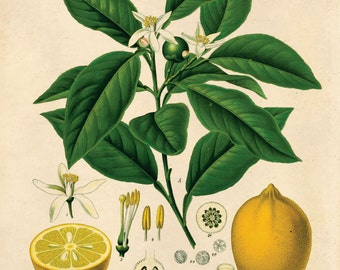 Vintage Lemon Print. Citrus tree vintage Educational Botanical Chart from Kohler's Citrus Tree Pull down chart - B011P