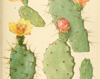 Vintage Cactus Blossom Print Plate 26. Prickly Pear Educational Vintage Chart Diagram Cactus Desert Poster Pull Down Chart - C004P