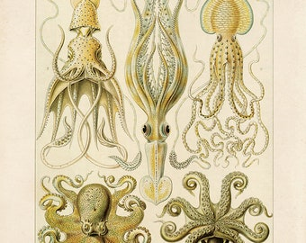 Vintage Octopus Print by Ernst Haeckel Educational Diagram Chart Cephalopoda