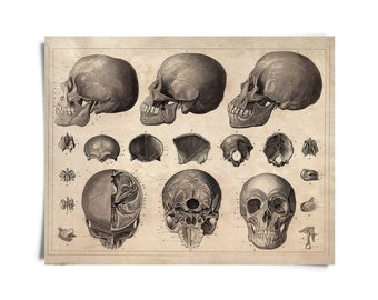 Skull Diagram Anatomy Print - Vintage Illustration Reproduction. Human Body Educational Chart Biology Classroom poster medicine - AT017P