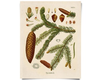 Vintage Norway Spruce Print. Botanical Tree Educational Chart Diagram Poster Kohler's Botanical. Medicinal Plant Guide evergreen - B016P
