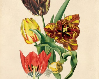 Vintage Tulip Flower Print. Garden Tulip Educational Chart Diagram Flower Seed Packet Poster - B020P