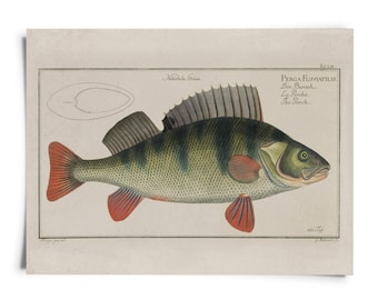 Vintage Fish Perch Print. Percha Aquatic Life Anthias Biology Educational Diagram Chart Poster Marcus Elieser Bloch - A021P