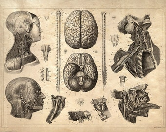 Vintage Anatomy Print Reproduction. Nervous System. Brains poster Human Body Biology Educational Chart diagram. CP103