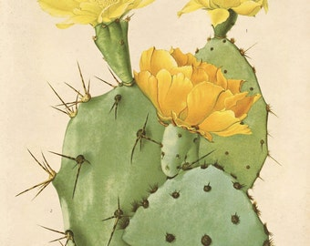 Vintage Yellow Cactus Flower Print Plate 28. Prickly Pear Educational Vintage Chart Diagram Cactus Desert Pull Down Chart flowers - C006P