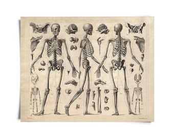 Vintage Anatomy Skeleton Diagram Print. Doctor Office Educational Chart Biology Science Poster - AT011P