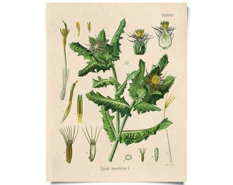 Vintage Blessed Thistle Print. botanical vintage Educational Diagram from Kohler's  B041P
