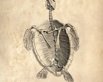 Vintage Sea Turtle Skeleton Print. Animal Anatomy Chart Educational Diagram Science Biology Anatomy - A018P