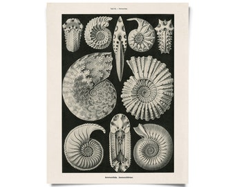 Vintage Ammonites Fossil Print by Ernst Haeckel Educational Diagram Chart Nautilus