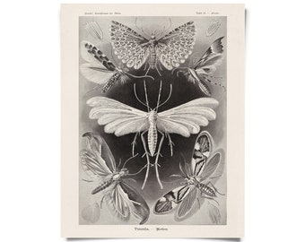 Vintage Moths Print - Reproduction of Vintage Ernst Haeckel Tineida Educational  Diagram Insects Chart - A005P