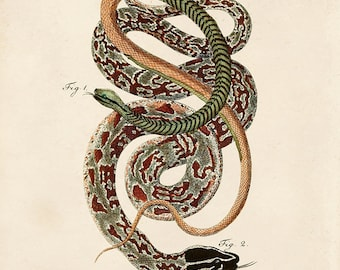 Vintage French Snake Print 2 - Illustrated Snakes by LaCépède - Educational Chart Poster Reptiles