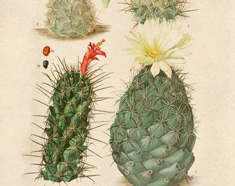 Vintage Cactus Blossom Print. Palm springs Botanical Desert Educational Chart Diagram Cactus Desert Poster Pull Down Chart flowers - C009P