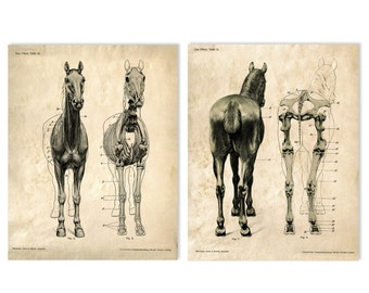 Horse anatomy Skeleton Prints - Two Matching Vintage Science Animal Study Posters. Horse Anatomy Diagram biology chart skeleton - SET005