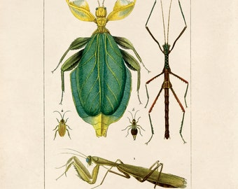 Vintage Insect Print. Praying Mantis Diagram Chart Scientific Diagram Poster French Entomology - A013P