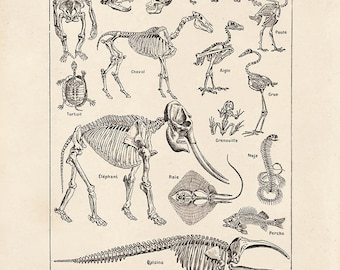 Vintage French Animal Kingdom Skeleton Print. Chart by Adolphe Millot Science Natural History