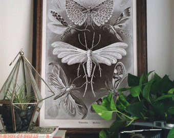 Vintage Moths Print. Poster Chart Science Print - Reproduction of Vintage Ernst Haeckel Tineida Educational  Diagram Insects Chart - A005P